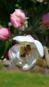 på besök i äppelblomman