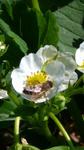 bi i jordgubbsblomman